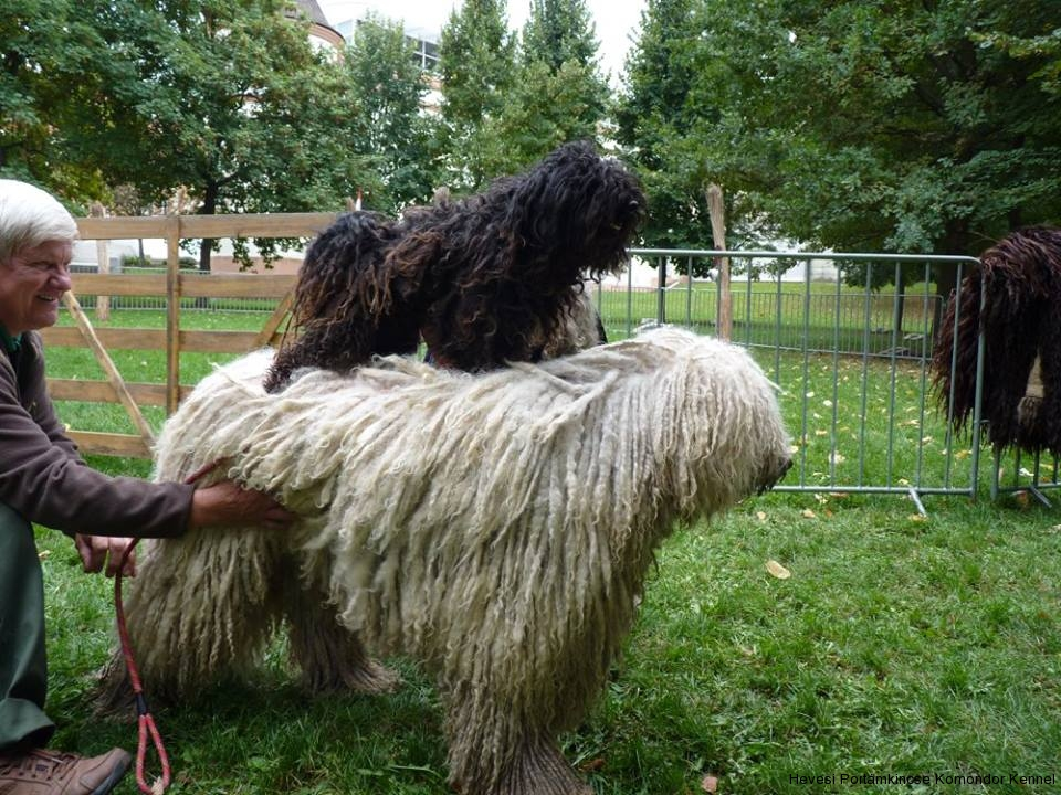 komondor pásztorkutya bemutató