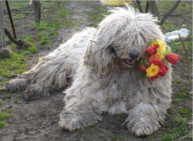 Kutyaszerelem a Portámkincse Komondor Kennelben