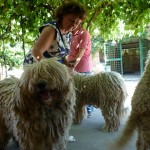 komondor_kennel