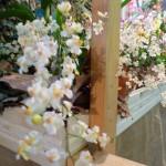 orchidea9