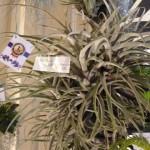 orchidea9a