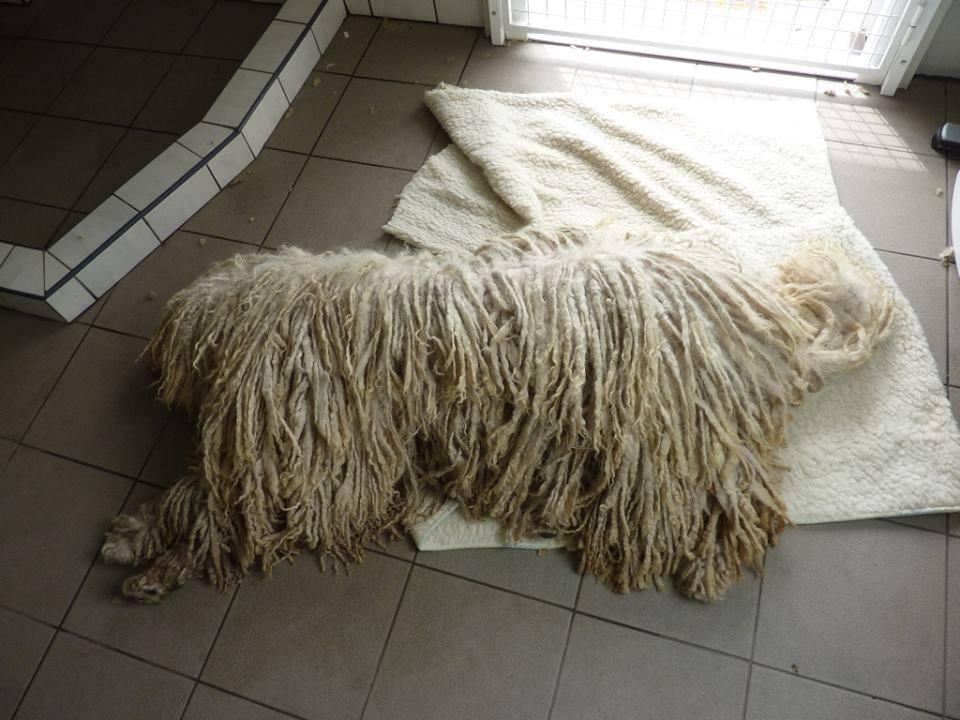 Portámkincse komondoraink a kutyakozmetikus szemszögéből
