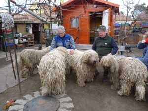 komondor_portamkincse_kennel