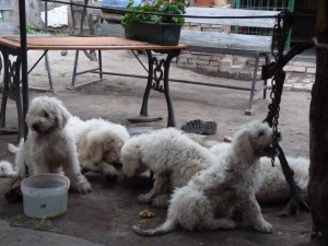 komondor_cs_alom9g