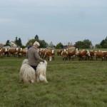 komondor_nagyvazsony2