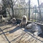 Tavaszi hírek a Portámkincse Komondorokról, és Lilikéről